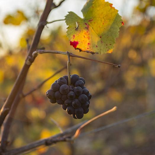 La taille des vignes Nicolas Feuillatte - Champmarket